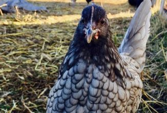 Blue Andalusian Chicken: Everything Worth Knowing