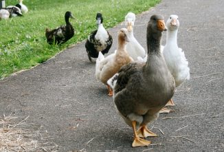 Why Keeping Geese on the Farm is Beneficial