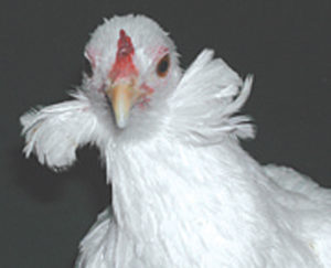 Araucana-Chicken-Tufts