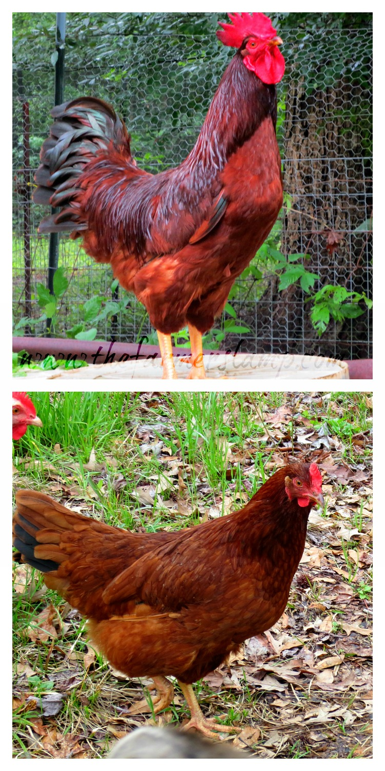 heritage-chicken-breeds