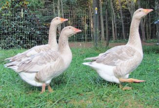 Raising American Buff Geese for Holiday Dinners