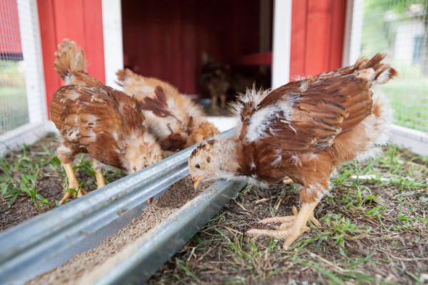 Introducing New Chickens to Established Flocks —Chickens in a Minute Video