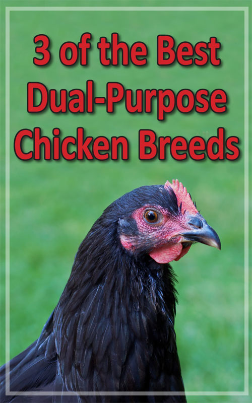 Best Dual Purpose Chickens