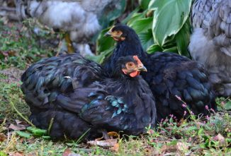 Beautiful Bantams: Black Cochins and Silver Spangled Hamburgs