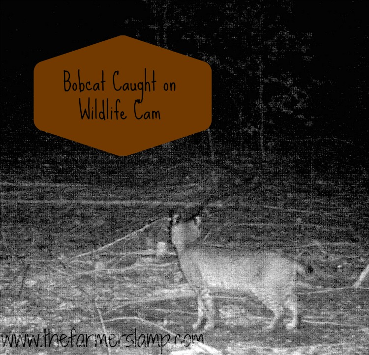 protecting-chickens-from-predators-bobcat