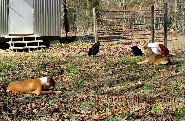 protecting-chickens-from-predators-watching-the-flock