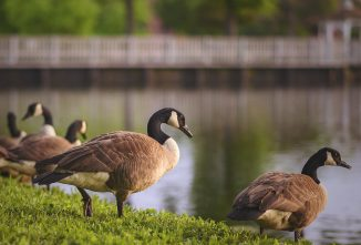 All About Light and Ornamental Goose Breeds