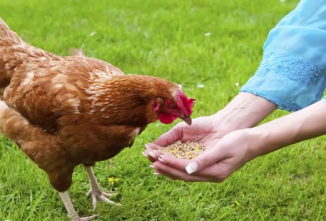 How Much Should I Feed My Chickens? — Chickens in a Minute Video