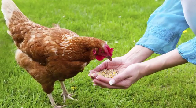 how-much-should-i-feed-my-chickens