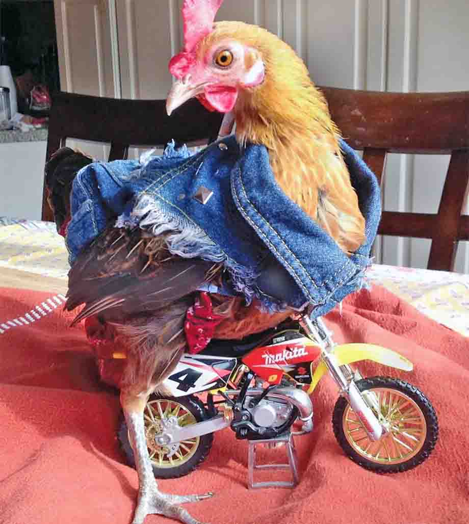 chicken-clothes