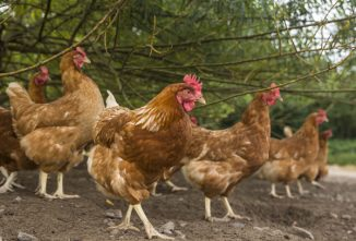 Chicken Mites & Northern Fowl Mites: Controlling Infestations