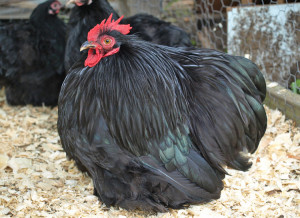 black-cochins-bantam-chicken