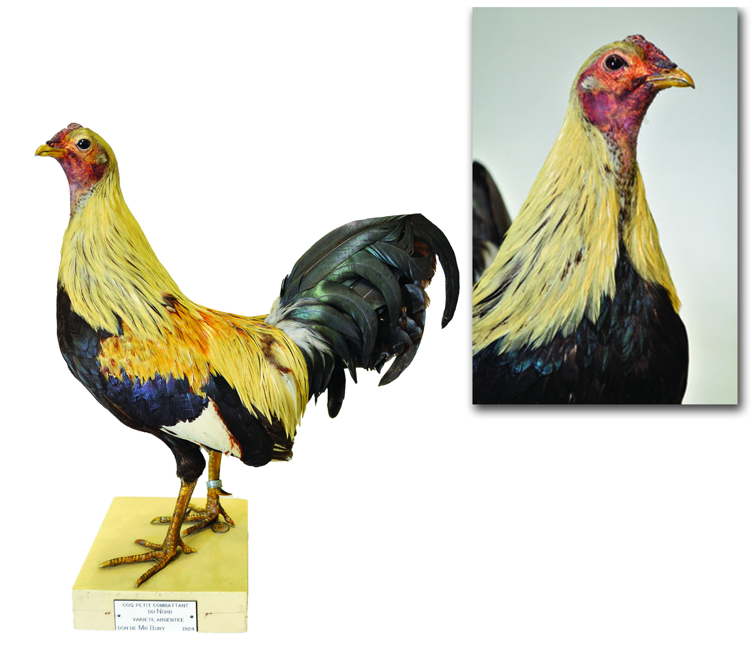 More Continental Poultry Breeds