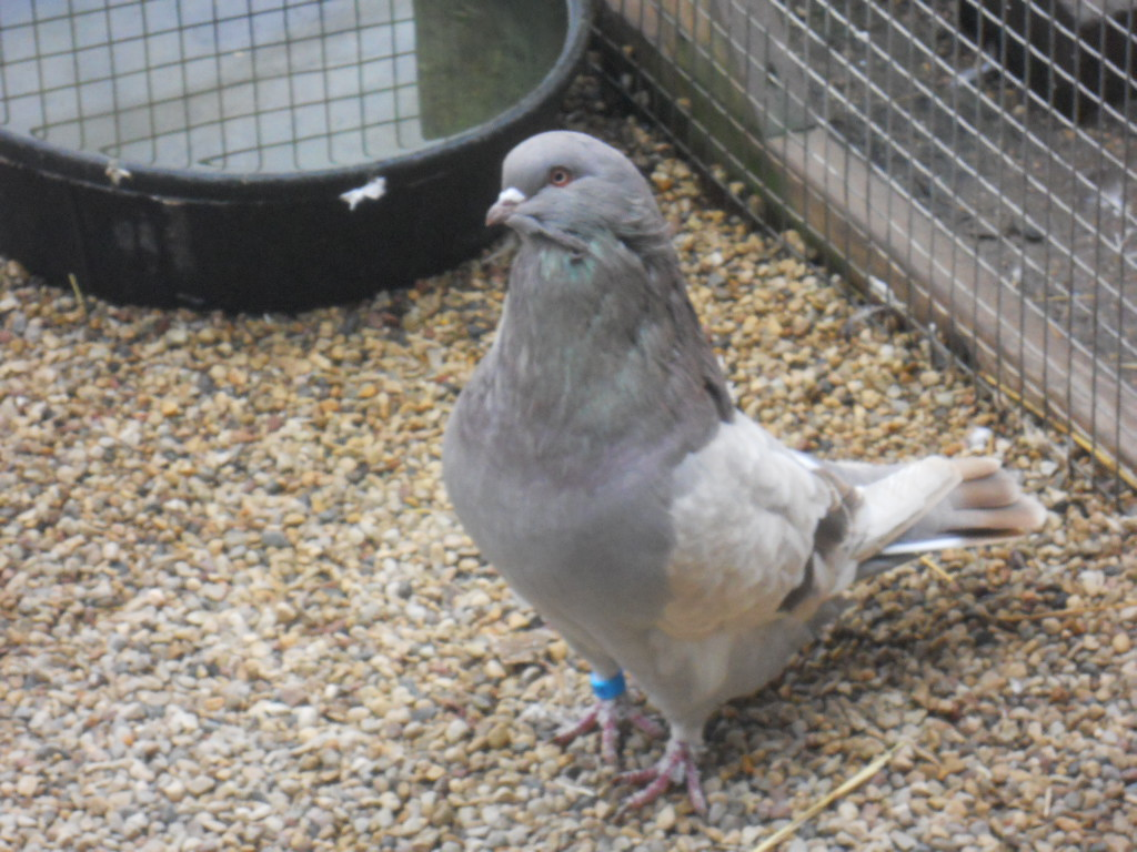 Breeds and Types of Pigeons: From Rollers to Racers