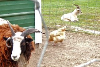 The Risks of Keeping Goats with Chickens