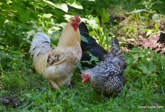 What is the Best Feed for Chickens in Summer?