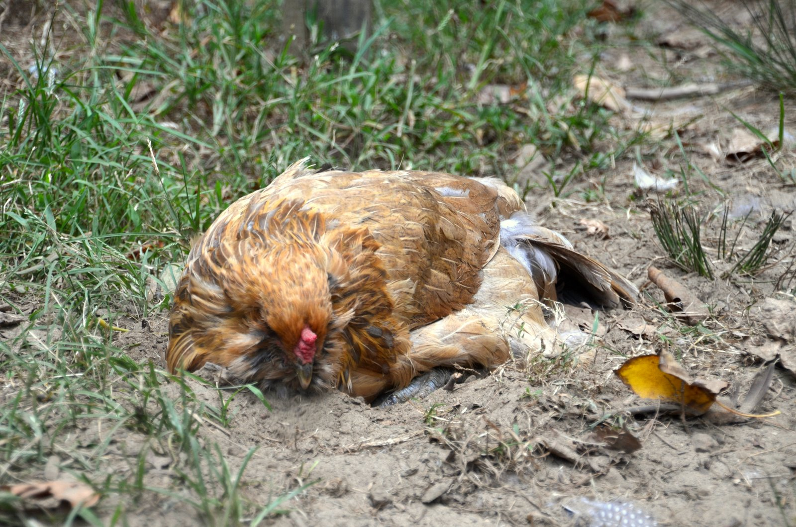 dust-baths-for-chickens