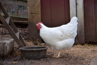 Does it Matter if You Raise Heritage Chicken Breeds or Hybrids?