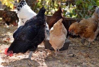 Beginner's Equipment Guide to Raising Chickens for Eggs