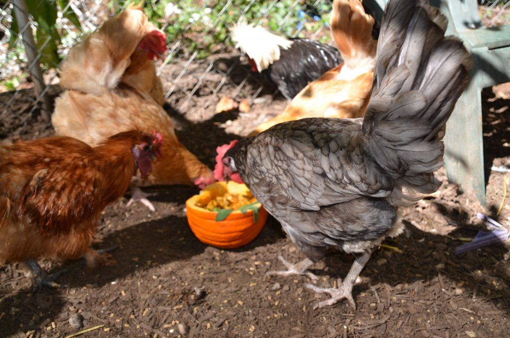 pumpkin treats chickens will love