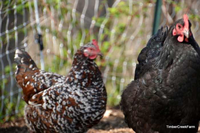 Treating Livestock and Chicken Eye Problems