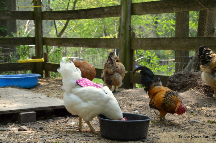 best-feed-for-chickens