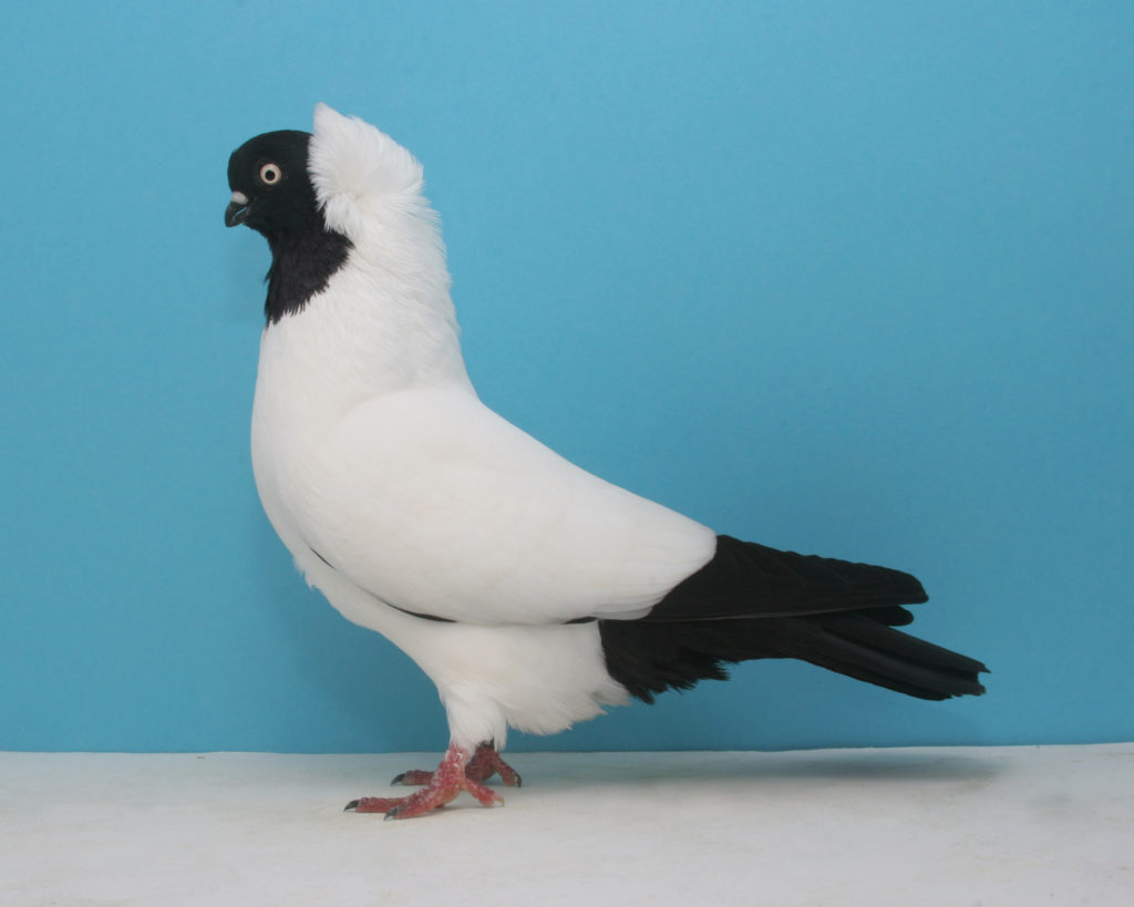 Black German Nun Pigeon