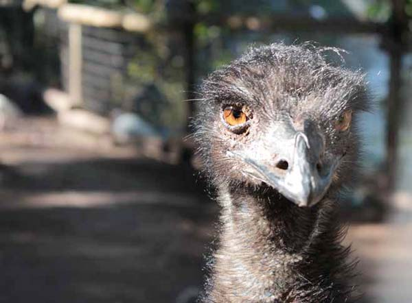 Emus: Alternative Agriculture