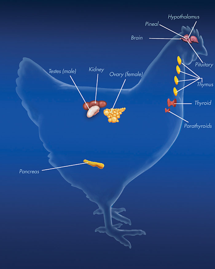 The Endocrine System of a Chicken