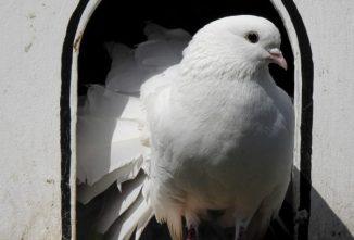 Good Pigeon Loft Design Can Help Your Pigeons Stay Healthy
