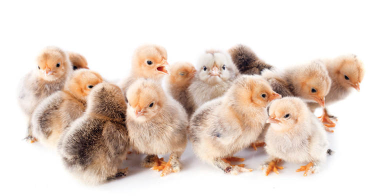 The First Two Weeks of a Chicken's Life