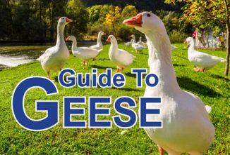 Geese Breeds