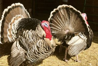 Narragansett Turkey: November Breed of the Month