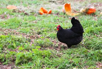 Can Chickens Eat Pumpkin Seeds & Guts?