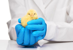 antibiotics-for-chickens