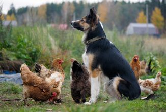 Tips on Raising Chickens with Dogs