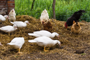 facts-about-chickens