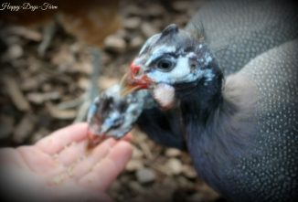 Keeping Guinea Fowl Safe