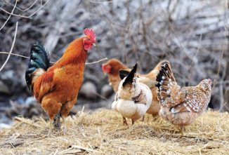 Gynandromorphic Chickens: Half-Male And Half-Female