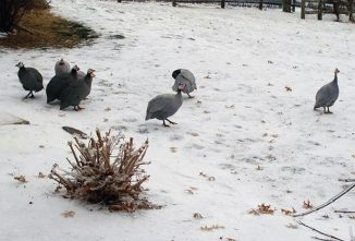 Guinea Fowl Care: Housing and Winter Survival