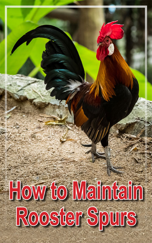 A Comprehensive Guide to Rooster Spurs - Backyard Poultry