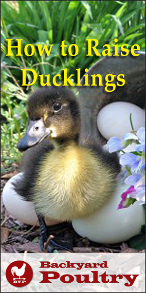 Raise Ducklings