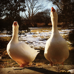 domestic-geese-breeds-to-guard-your-flock