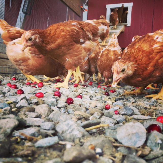 Selecting The Right Chicken Breeds