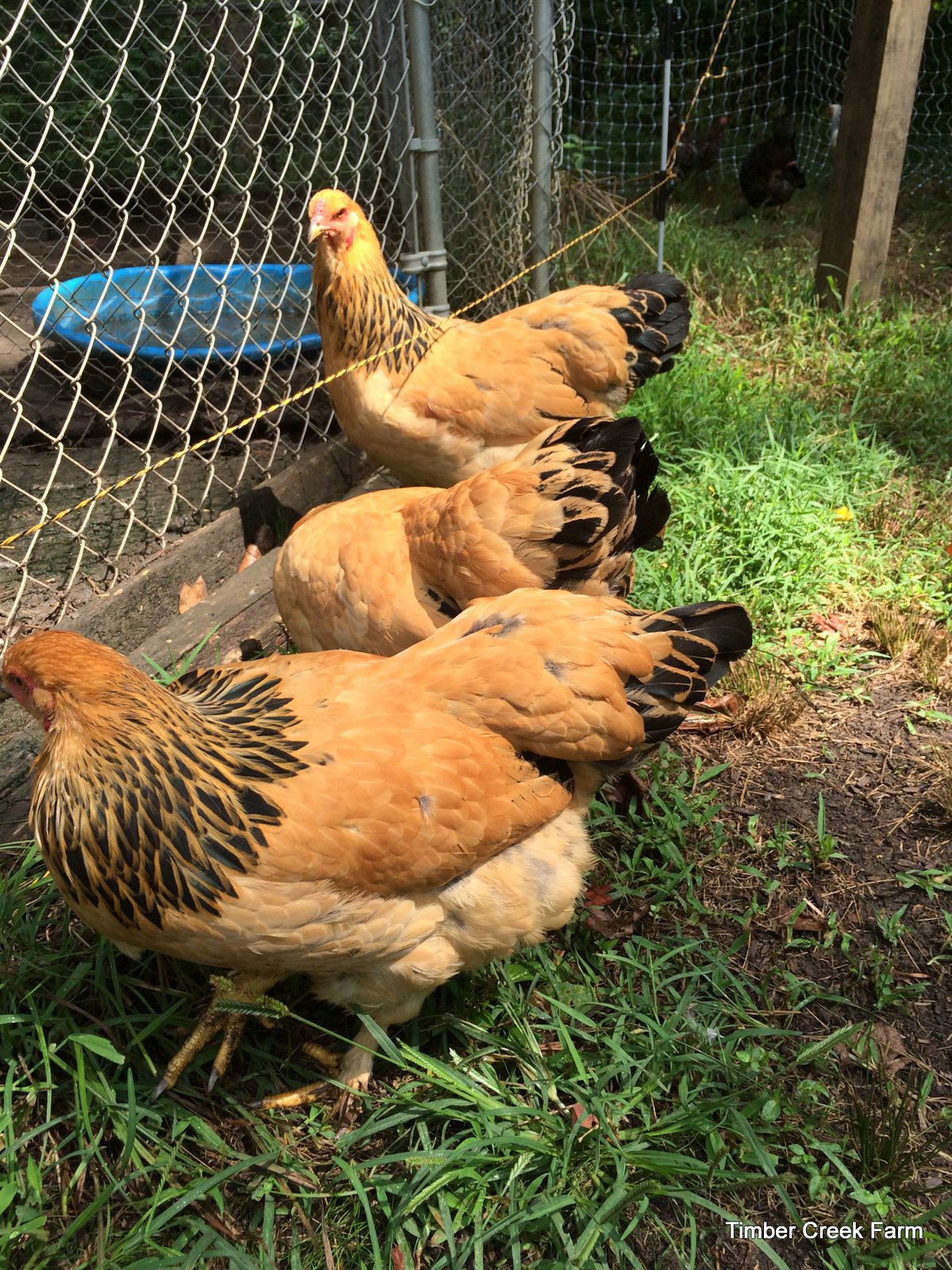 The Brahma Chicken - Raising a Large Breed - Backyard Poultry