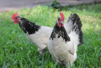 Lakenvelder Chicken: September Breed of the Month
