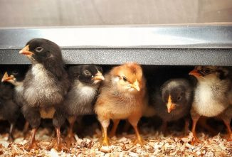 Which Brooder Heating Options are Best?