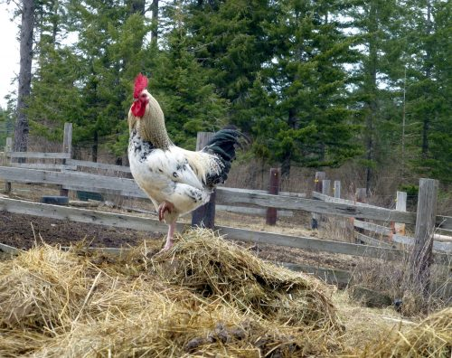 Chickens and Compost: A Match Made in Heaven