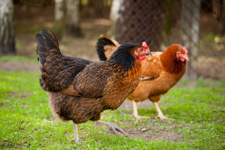 Electrolytes for Chickens: Keep Your Flock Hydrated and Healthy in Summer