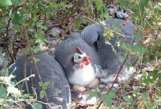 Are Guinea Hens the Worst Moms of All?
